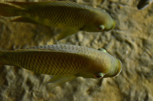 Perch, Cichlid, Fish, Auqarium