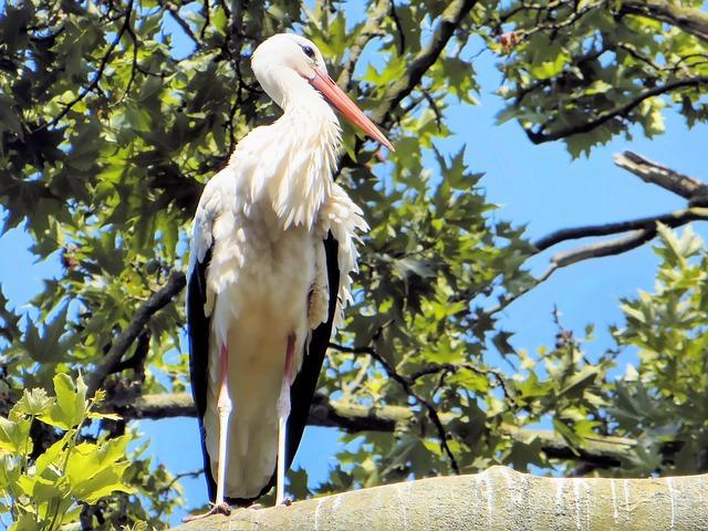 Morocco, White Stork, Ciconia Ciconia, Bird
