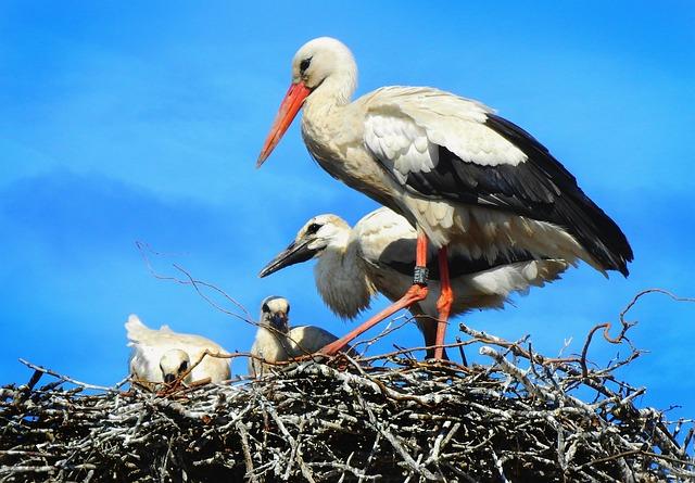 Stork, Wading Bird, Animal, Ciconia Ciconia, Wing