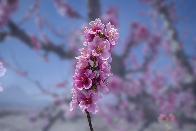 Flower, Peach, Branch, Bloom, Cieza, Spain, Murcia