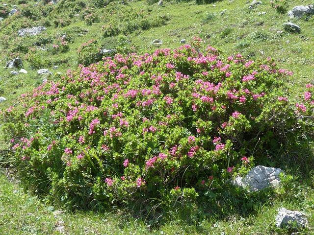 Ciliated Alpenrose, Bush, Flowers, Pink