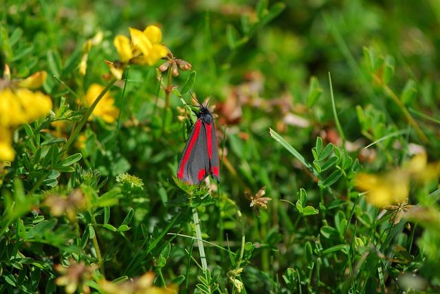 Cinnabar Moth, Moth, Spring, Cinnabar, Nature, Insect