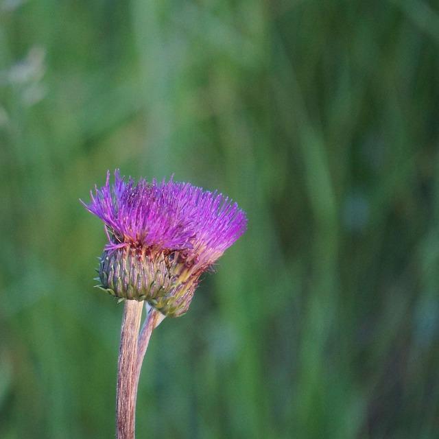 Melancholy Thistle, Cirsium Helenioides, Thistle