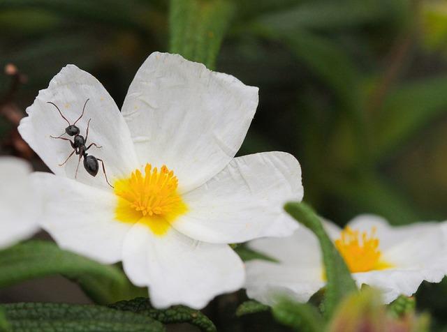 Ant, Cistus, Flowers