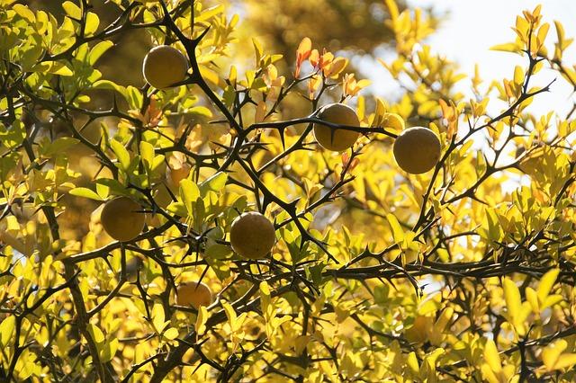 Citronečník, Fruit, Yellow, In The Fall, Spines, Bush