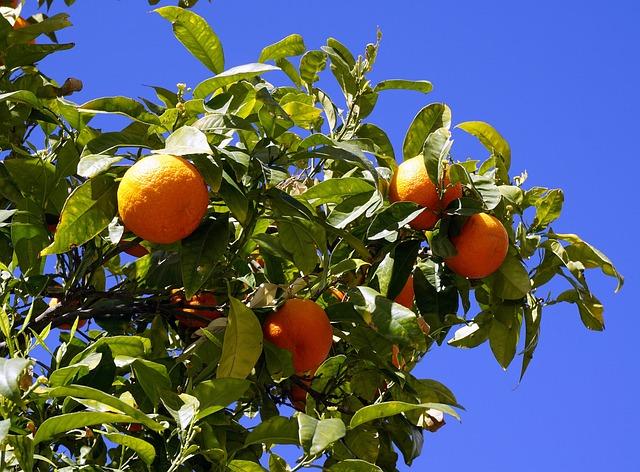 Oranges, Fruit, Citrus, Naranjo, Nature, Tree, Vitamin