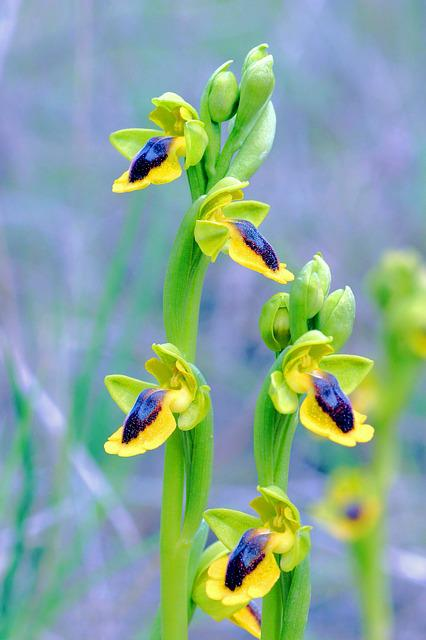 Ophrys Lutea, Orchid, Clape