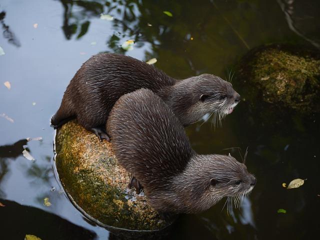 Otter, Mammal, Clawed Otter