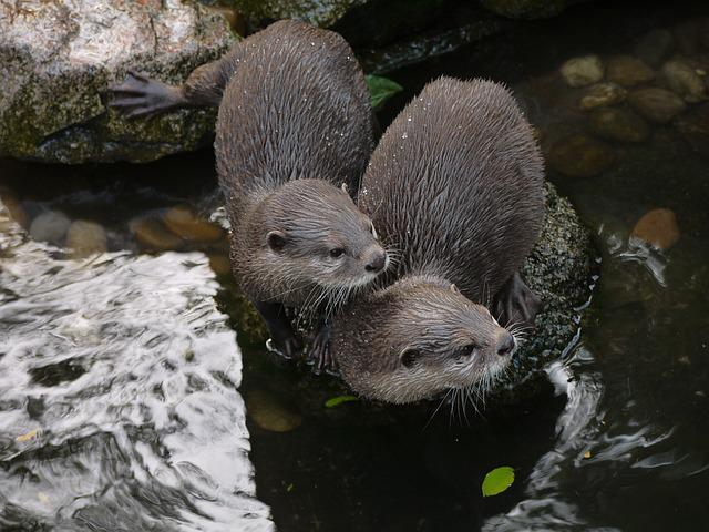 Otter, Mammal, Clawed Otter