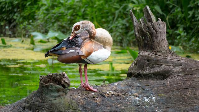 Nilgans, Goose, Clean, Care, Cleaning, Bird, Plumage