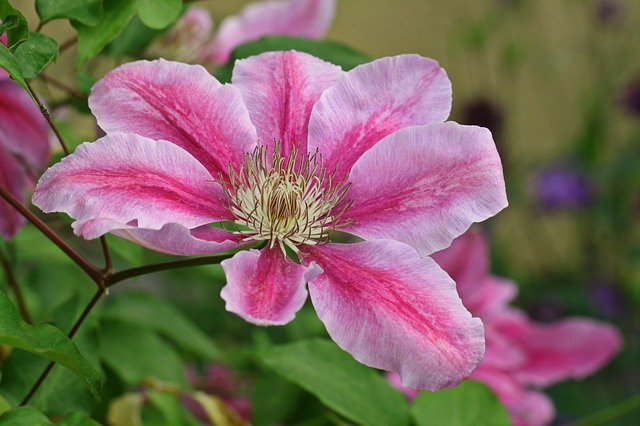 Clematis, Blossom, Bloom, Climber, Flower, Plant, Bloom