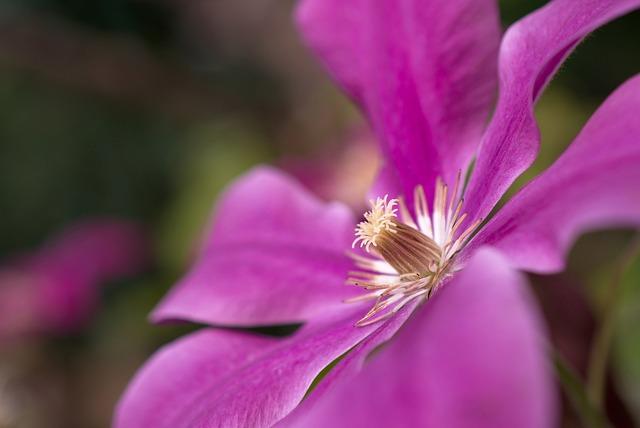 Clematis, Blossom, Bloom, Flower, Climber Plant, Petals