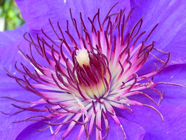 Clematis, Blossom, Bloom, Blue, Purple