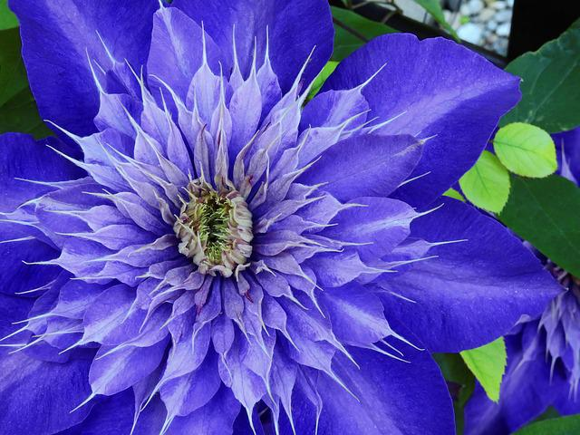 Clematis, Flower, Blossom, Bloom, Purple, Bloom, Nature
