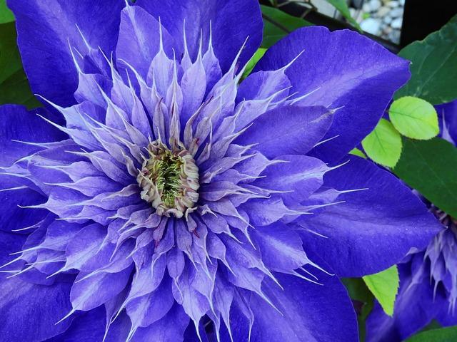 Clematis, Flower, Blossom, Bloom, Purple, Bloom, Nature