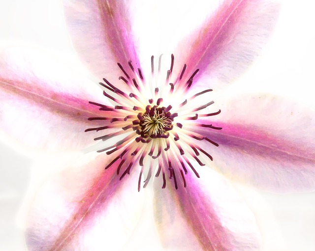 Clematis, Blossom, Bloom, Close, Pink, White, Stamens
