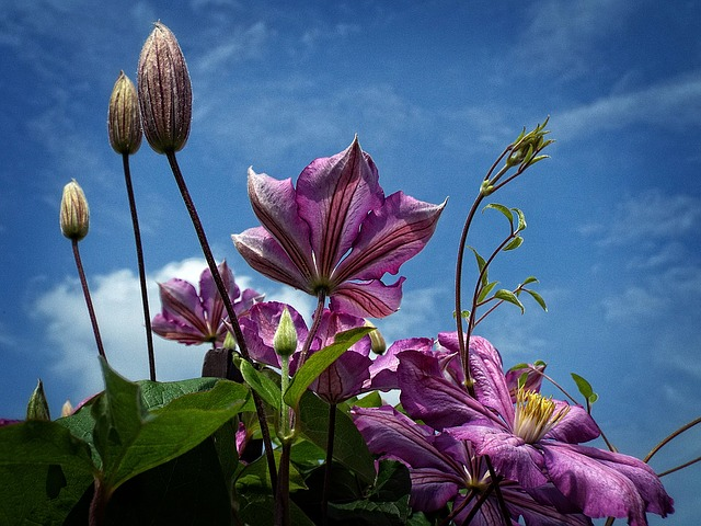 Wallpaper, Background, Beauty, Clematis, Lila