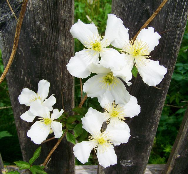 White Clematis, Clematis, Creeping Plant