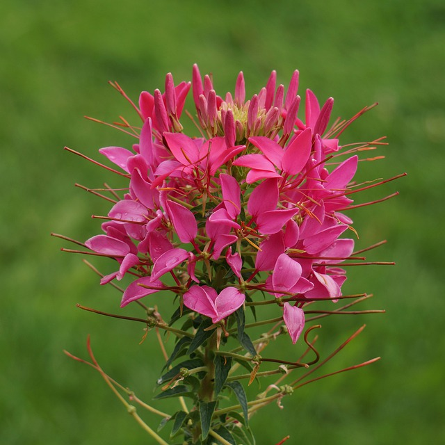 Spider On A Flower, Cleome Hassleriana, Inflorescence