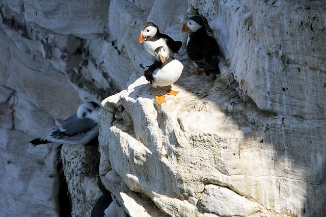 Puffins, Birds, Nature, Wildlife, Beak, Cliff