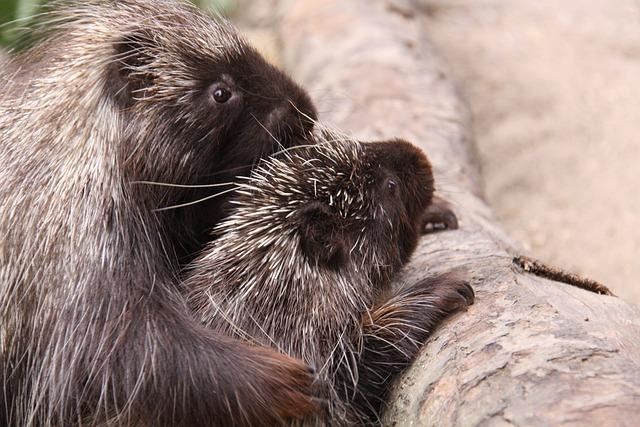 Porcupines, Urson, Climber, Pair, Animal