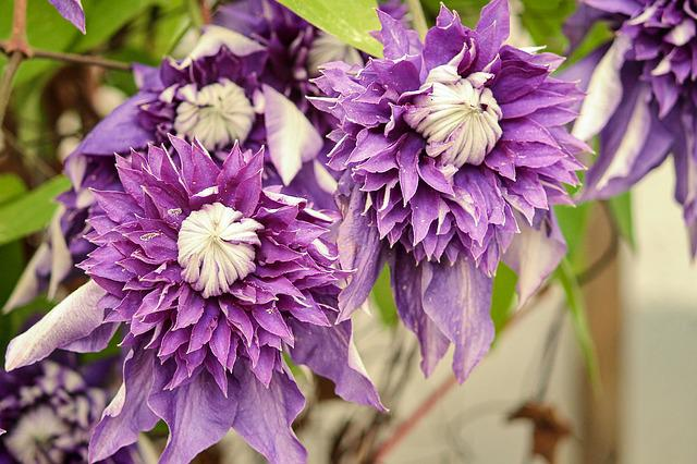 Clematis, Blossom, Bloom, Violet, Close, Bloom, Climber