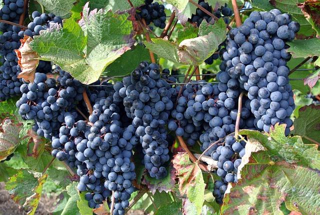 Fruit, Grape, Climber