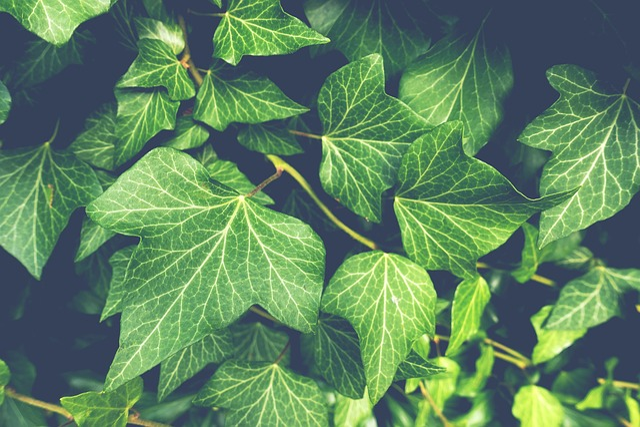 Ivy, Plant, Garden, Nature, Green, Climber Plant