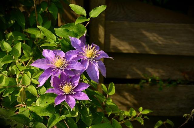 Clematis, Climber, Hahnenfußgewächs, Ranunculaceae