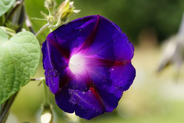 Superb Thread, Violet, Summer Flower, Climber