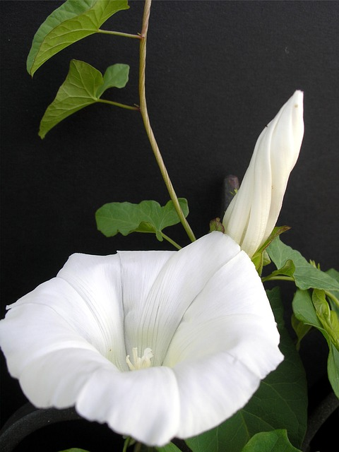 Climber, Vetches, Tender, Flowers, Sweet, Nature, Bloom