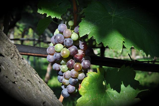 Climber, Fruit, Nature, Grape, Vineyard, Wine, Winery