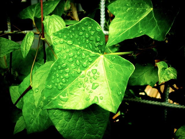 Foliage, Vine, Climbing Plant, Ivy, Clamberer, Creeper