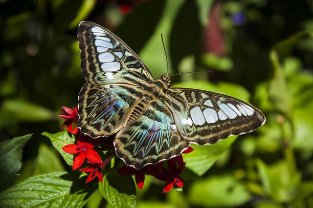 Clipper, Butterfly, Insect, Nature, Wings, Macro