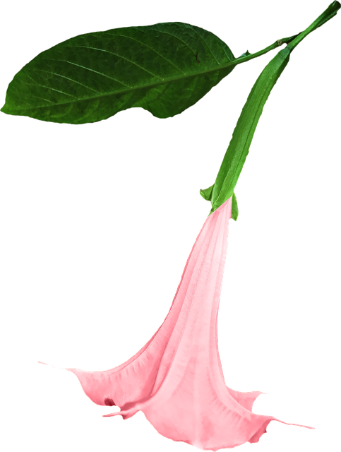 Datura, Png, Flower, Clipping, Graphics