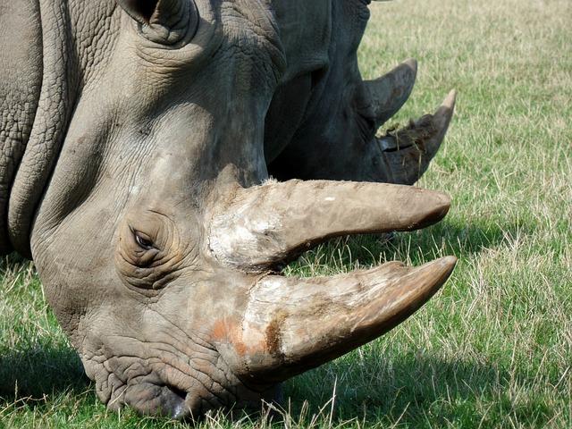 Rhino, Park, Knuth Borg, Safari Park, Close, Africa