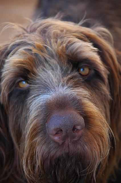 Dog, Wirehaired, Close, Long Eared, Animals, Hunting