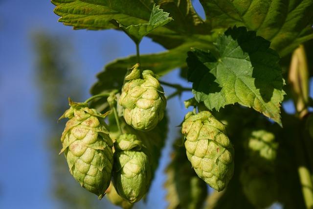 Hops, Close, Nature, Plant, Bavaria, Beer, Harvest