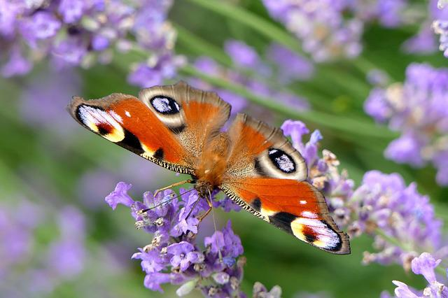 Peacock Butterfly, Butterfly, Close, Nature, Lavender