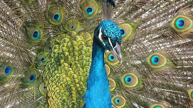 Peacock, Bird, Feather, Close, Color, Iridescent
