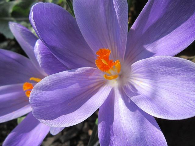 Crocus, Close, Blossom, Bloom, Frühlingsanfang, Spring