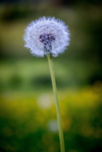 Dandelion, Spring, Flowers, Seeds, Close