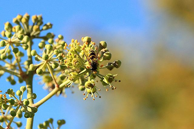 Wasps, Insect, Close, Nature, Animal, Field Wasp Ivy
