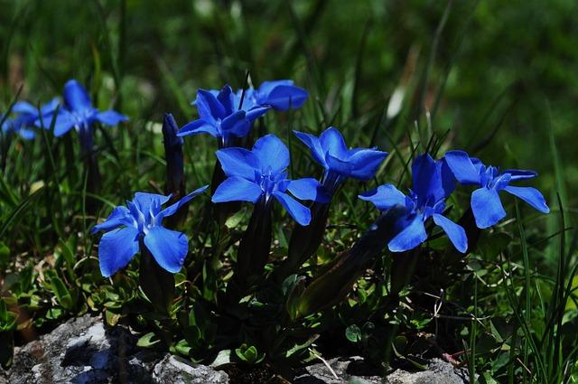 Gentian, Blue, Close, Flower, Blue Gentian