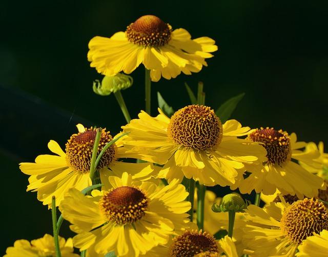 Sun Brews, Flower Garden, Yellow, Composites, Close
