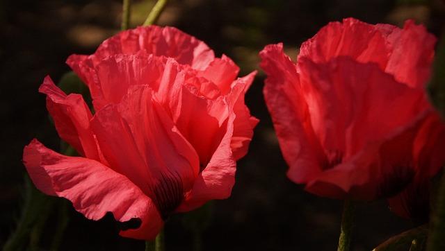 Poppy, Spring, Flowers, Red, Close, Flower