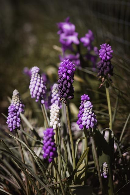 Hyacinth, Grape-hyacinth, Spring, Muscari, Close