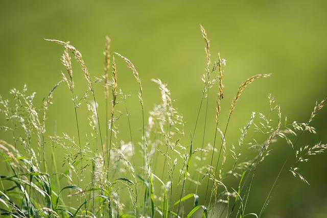 Meadow, Grasses, Green, Nature, Seeds, Summer, Close