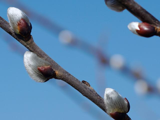 Pussy Willow, Fluffy, Nature, Spring, Close, Hairy