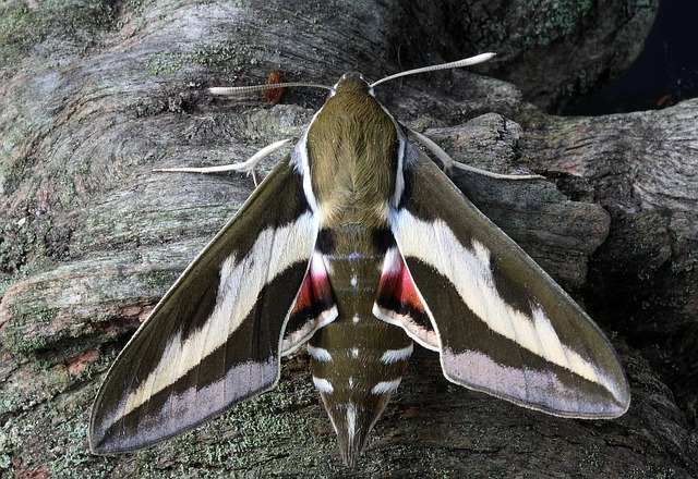 Moth, Macro, Insect, Close, Wing, Hawkmoth
